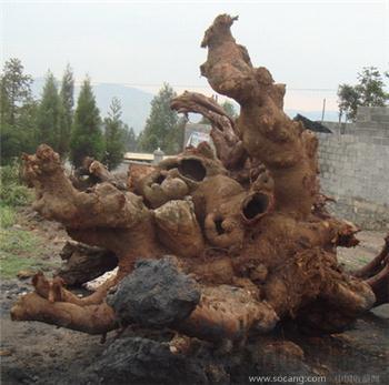 万里挑一大型金丝榔(榉木)极品根雕用千年树根出售-收藏网