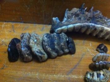 龙骨化石-收藏网