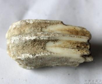 牙齿化石-收藏网